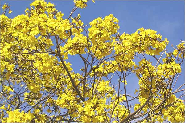 A tree with attractive yellow foliage