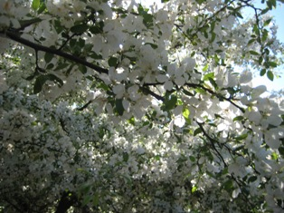 blossom as an indicator of climate change