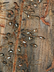 Mountain Pine Beetle_USDAForestryService