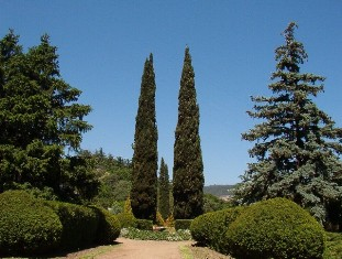 cypress and conifer