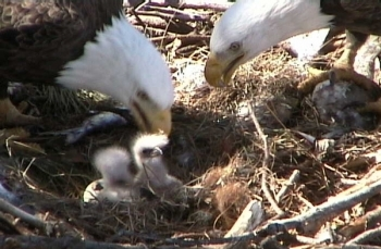 eagles hatching