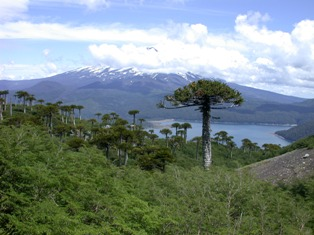 monkey puzzle forest in chile.  photo Peter Hollingsworth