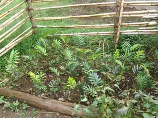 seedlings growing in Uganda