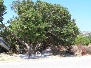 The mastic tree - many are dependent on it for income