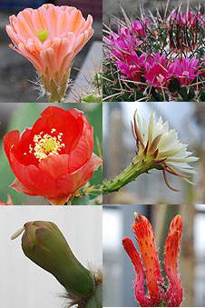 Some of the Belgian cacti