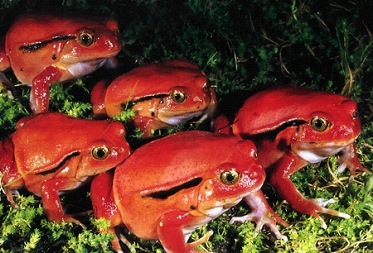 Help rescue these frogs from extinction