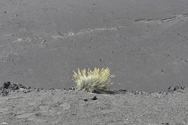 Photograph of Festuca petraea on Capelinhos Volcano, June 2011