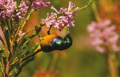 Orange-breasted Sunbird feeding on the flowers of Erica verticillata in Kirstenbosch NBG