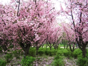 Shangai Cherry Blossoms
