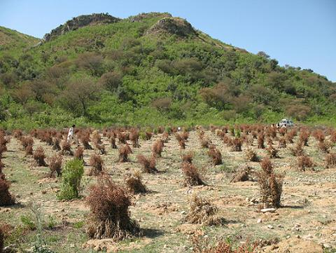 Photograph showing habitat recovery of scrub thorn vegetation in the Soan Valley, Punjab Province, Pakistan Planted seedlings of  Acacia modesta and Olea cuspidata are protected with branches of Dodonea viscosa