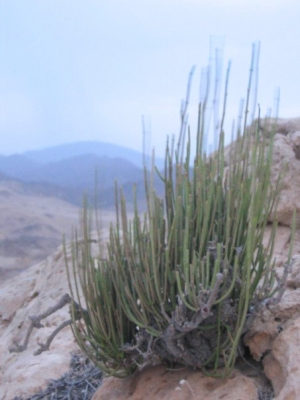 Fragile but tough - desert plants in Oman