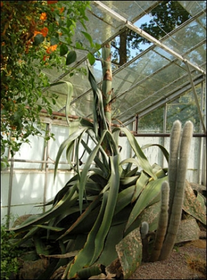 Agave americana breaks through the glass ceiling
