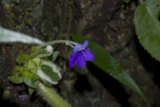 new species of Gesneriaceae