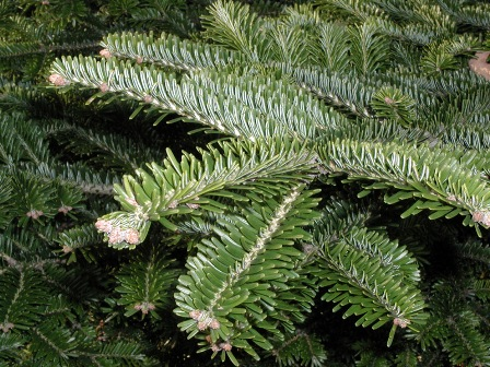 Endangered Abies nebrodensis