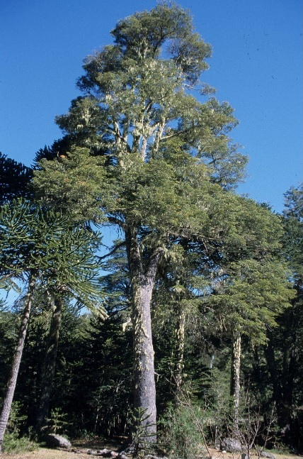 Nothofagus dombeyi Photo Credit – © Arboretum Wespelaar