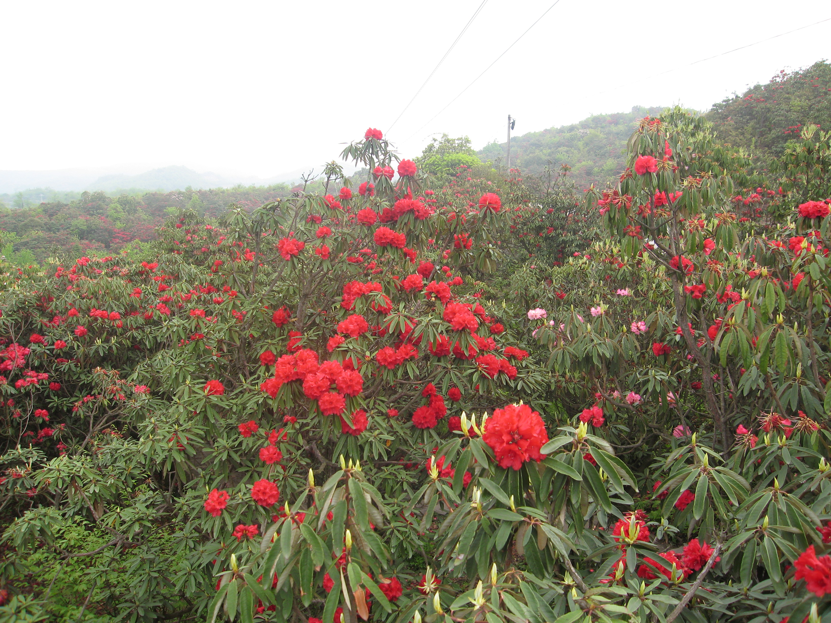 The Red List And Ex Situ Survey Of Rhododendrons Botanic Gardens
